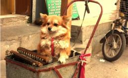 산둥성 제남에서 만난 강아지. 썸네일 사진